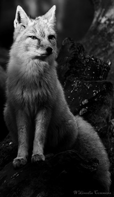 Fox_in_zoo monochrome